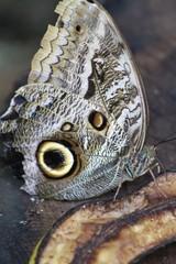 Tamarindi Owlet Butterfly eating banana