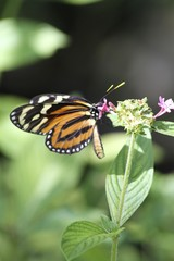Golden Heliconian - Tiger Lonwing butterfly