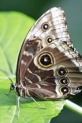 Tamarindi Owlet Butterfly