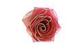 canvas print picture - Красный бант розочка