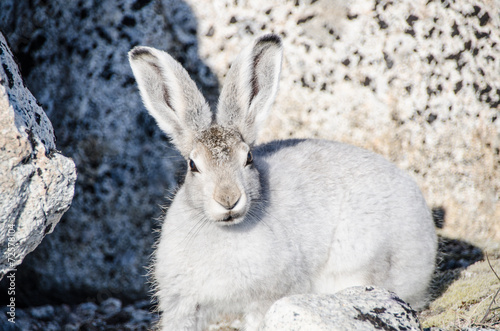 Arctic hare - 72578104