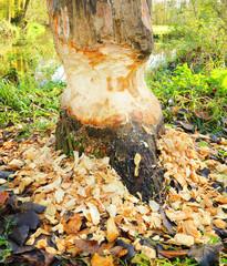 Tree taken down by beaver.