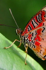 Red lace wing butterfly close up.
