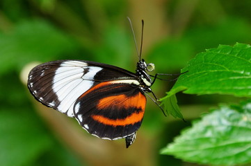 Black and white long wing butterfly.