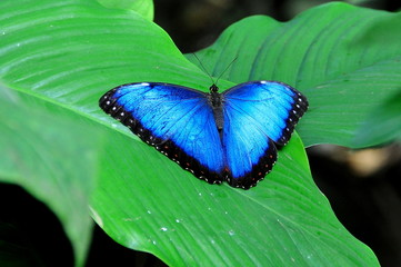Blue Morpho butterfly shows its beauty in the gardens.