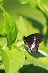 Parides Arcas - True Cattleheart butterfly