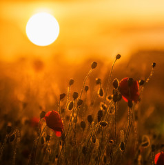 A field of red poppies at sunset