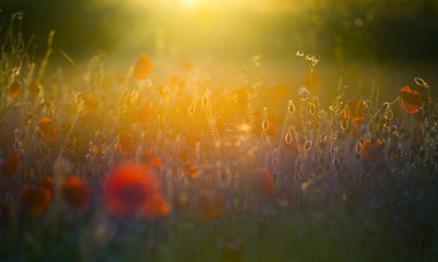 A field of bright, red poppies in a field under a setting sun