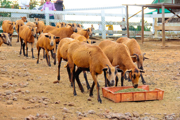 Herd of eating Barbado Blackbelly sheep