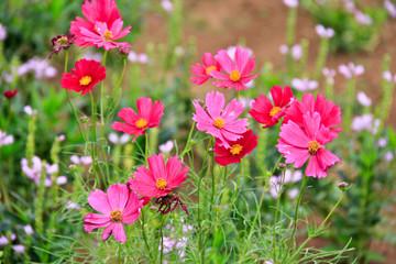 Hot Pink Garden Cosmos