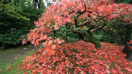 Red Laced Maple Tree in Autumn in Portland Japanese Garden