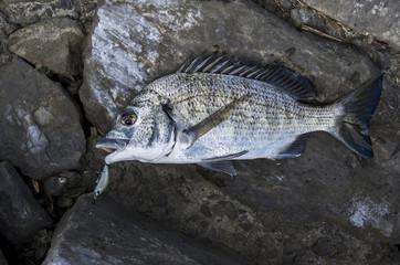 釣り上げたミナミクロダイ