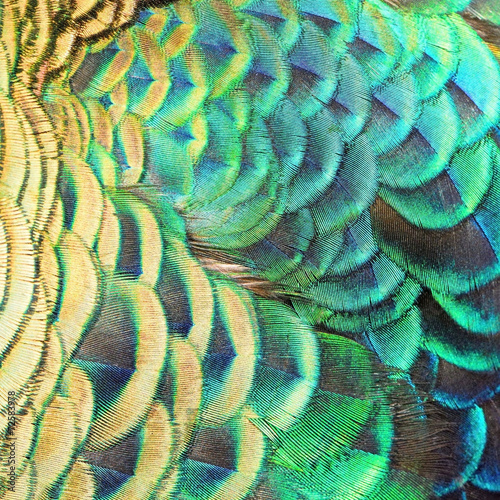 Green Peacock feathers - 72583978