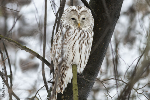 In de dag Uil Ural owl