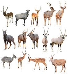 male antilope isolated