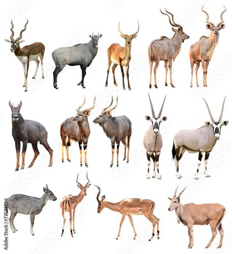 Papiers peints Hyène male antilope isolated