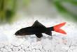 Red Fire Tail Shark Catfish Epalzeorhynchos bicolor - 72585722