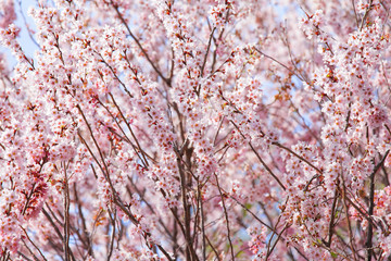 Beautiful pink sakura tree