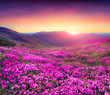 Magic pink rhododendron flowers in the mountains. - 72586785