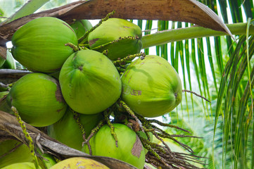 Green coconut at palm tree