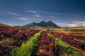 Beautiful autumn vineyards and mountain