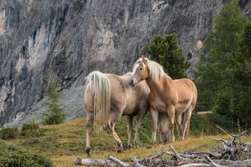 grooming chestnut horses