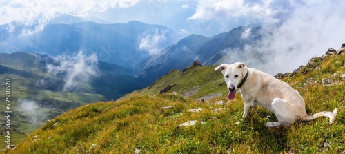 Plexiglas Heuvel White dog in the mountains