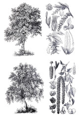 Retro  silhouettes of a birch and hornbeam