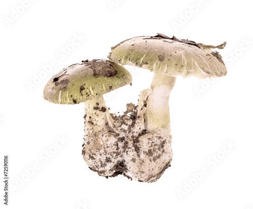 .Poisonous mushroom Amanita phalloides isolated