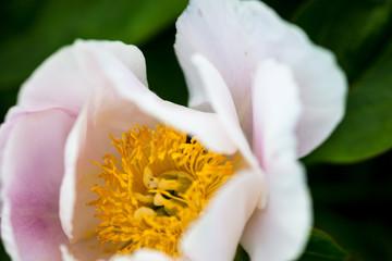 Pale pink peony flower