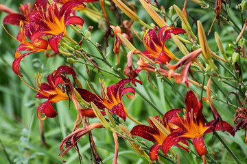 Beautiful red lily flowers