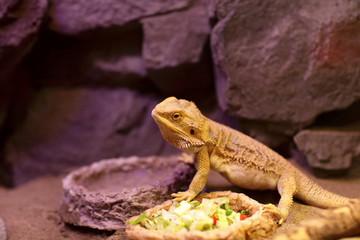 Lizard next to plate of food