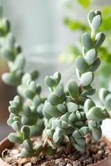 succulent, close up of rare succulent plant