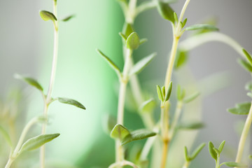 thyme, fresh green Thyme herb for background use