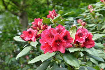 Pink rhododendron flowers in parc closeup