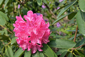 Pink rhododendron flowers in sunny day
