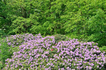 Violet rhododendrons in park