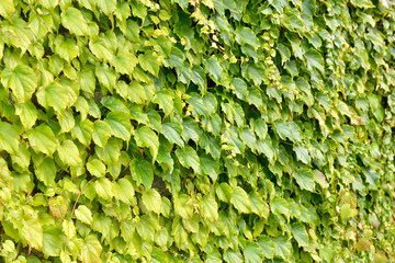 Ivy wild grape on a wall