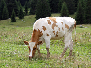 Brown and white cow to pasture grazing alpine meadow grass
