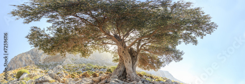 Fotobehang Olijfboom Centuries old branchy olive tree panoramic view