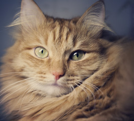 Portrait of beautiful red-haired cat with a retro toning