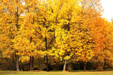 Autumn landscape, yellow trees in forest