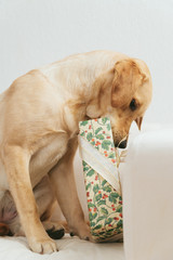 Labrador retriever dog lying under Christmas tree