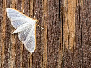 White Palpita vitrealis moth. Olive-tree Pearl. On wood.