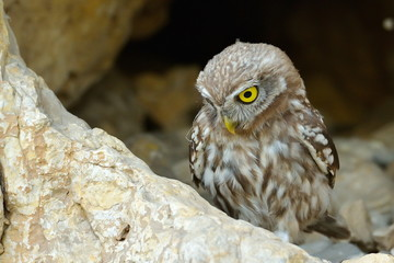 the little owl in natural habitat (Athene noctua)