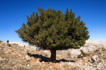 Sardegna, Supramonte di Oliena, tasso solitario