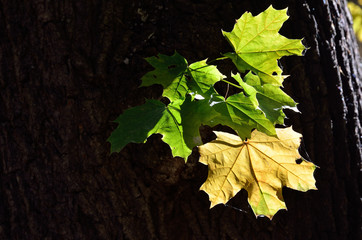 Maple leaves in the old tree