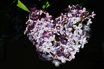 broken heart, petals lilac heart shaped (Valentine's Day, Februa