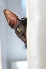 Canadian Sphynx cat portrait