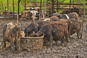 Cows at farm